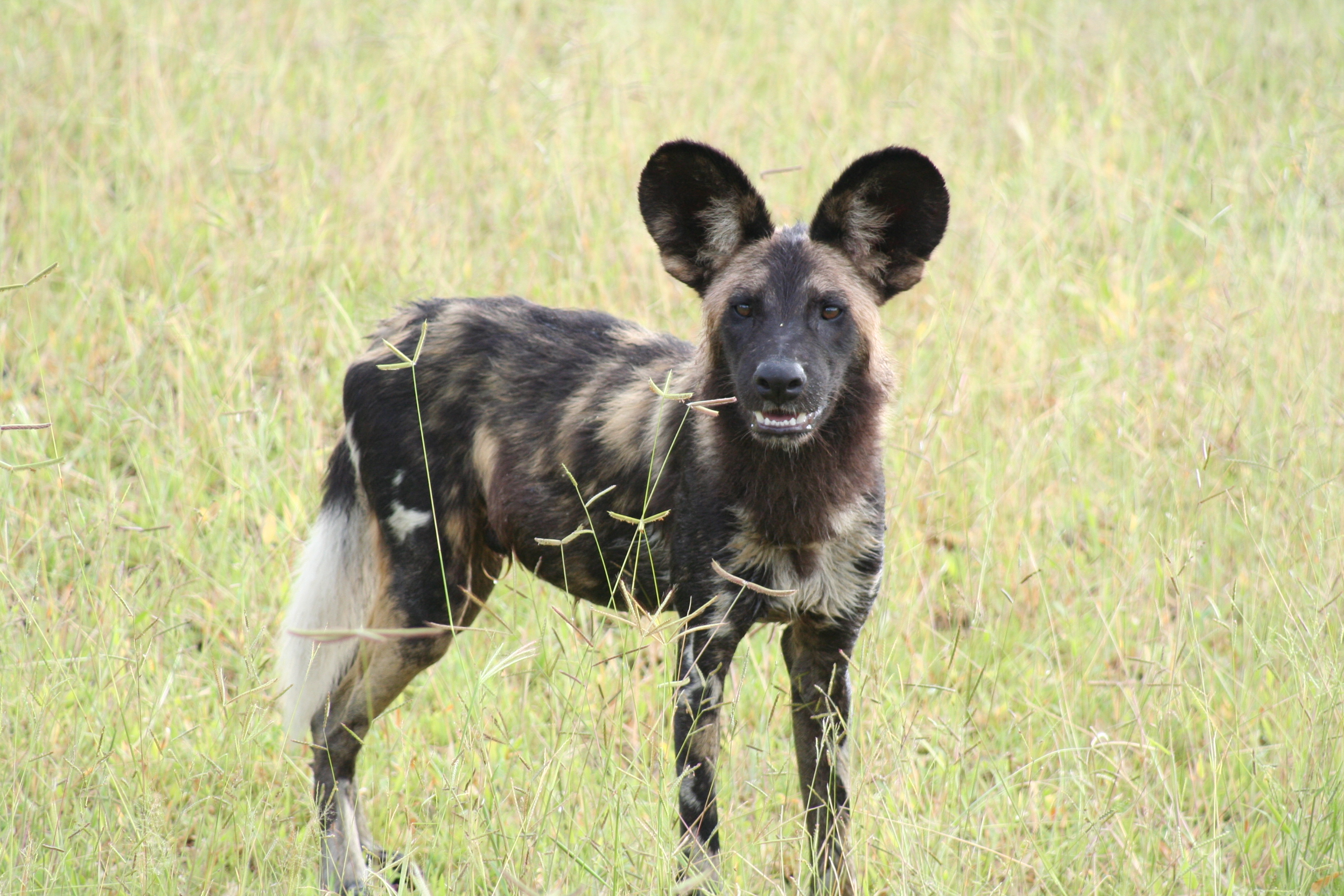 Scientific Name Of African Wild Dog